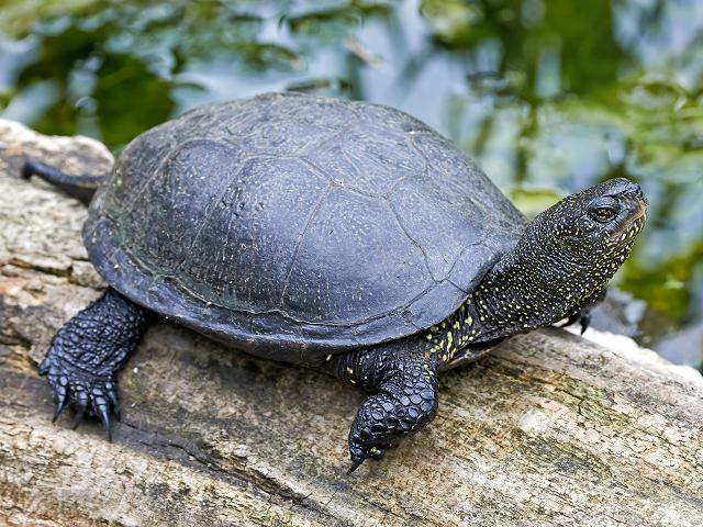 Ohrozenú korytnačku močiarnu pomôžu zachrániť slovenské technológie